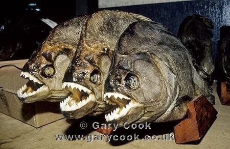 Photo of piranha trophies manaus market brazil travel for Fountainview fish market