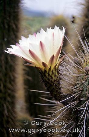 Photo of cactus flower in the desert north of santiago for Cactus santiago